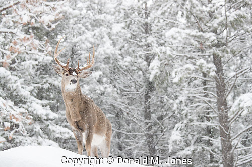 Whitetail Deer (Odocoileus virgininianus)