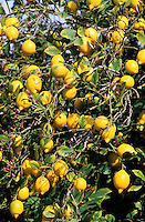 Zitrone, reife Zitronen am Baum, Zitrusfrucht, Zitrusfrüchte, Citrusfrucht, Citrusfrüchte, Citrus limon, Lemon