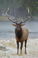 Elk, Wapiti, Cervus elaphus, bull prancing showing off,  Yellowstone NP,Wyoming, September 2005