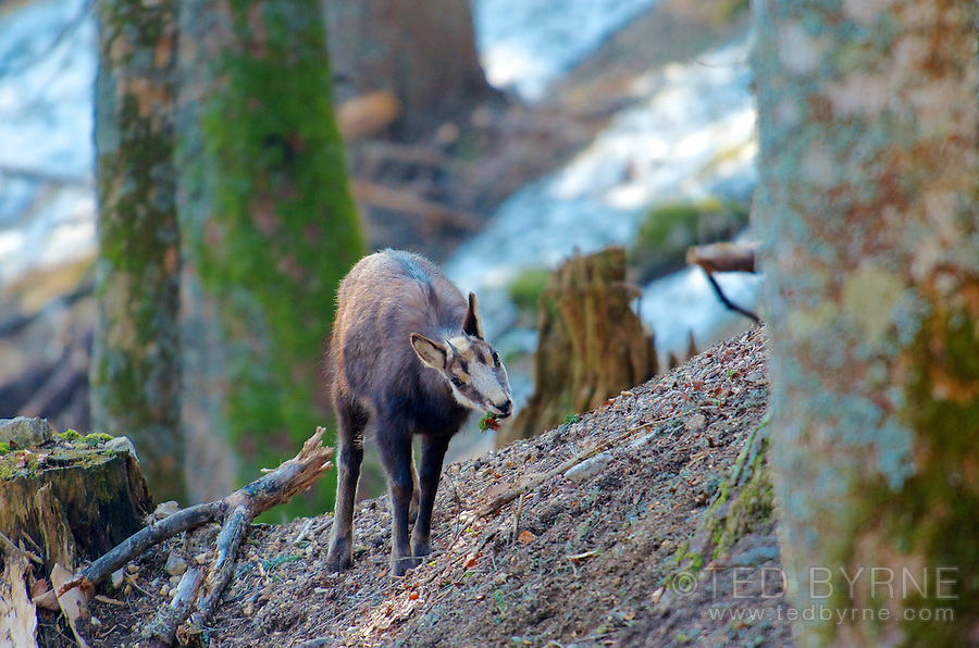 Young chamois eating on forest hillside