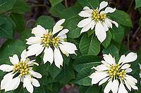 Spain, Canary Islands, La Palma, white Poinsettia (Euphorbia pulcherrima), Mexican flame leaf, Christmas star, Winter rose