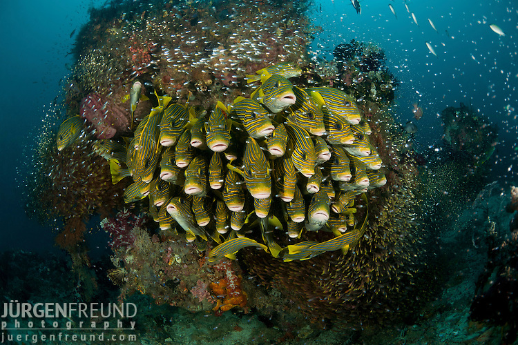 Schooling yellow-ribboned sweetlips (Plectorhinchus polytaenia) surrounded by glassy sweepers. North Raja Ampat, West Papua, Indonesia