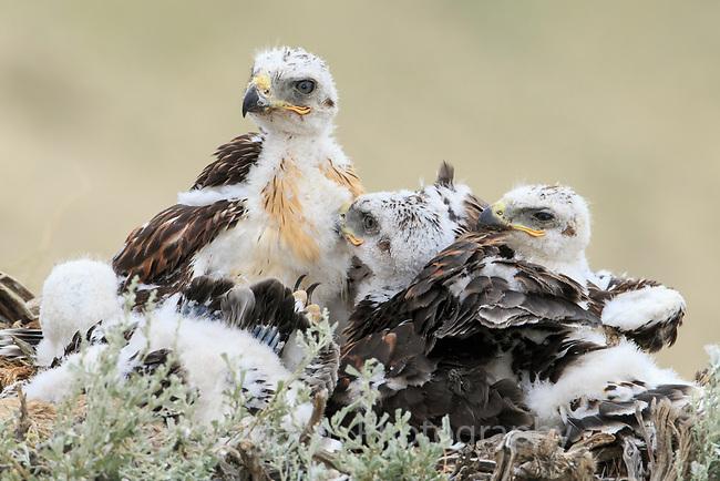 Ferruginous Hawk (Buteo regalis) nest with chicks. Sublette County, Wyoming. June.