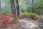 Azaleas bloom in spring at Cypress Gardens in Moncks Corner, South Carolina, USA