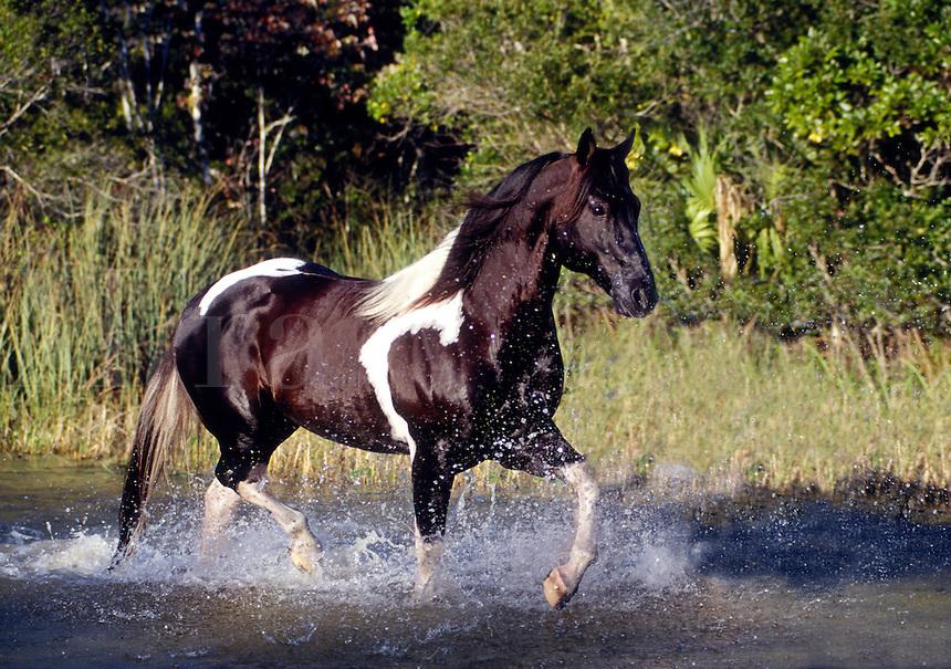 American Paint Horse stallion runs through shallow water.