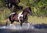 American Paint Horse stallion runs through shallow water.