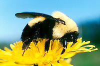 BEES (POLLINATION)<br /> Bumblebee On Dandelion<br /> Fertile females (queens) make underground nests that can survive winter. Special body adaptations allow bumblebees to live in colder climates than most bees. They can produce honey and can fly longer than most bees.