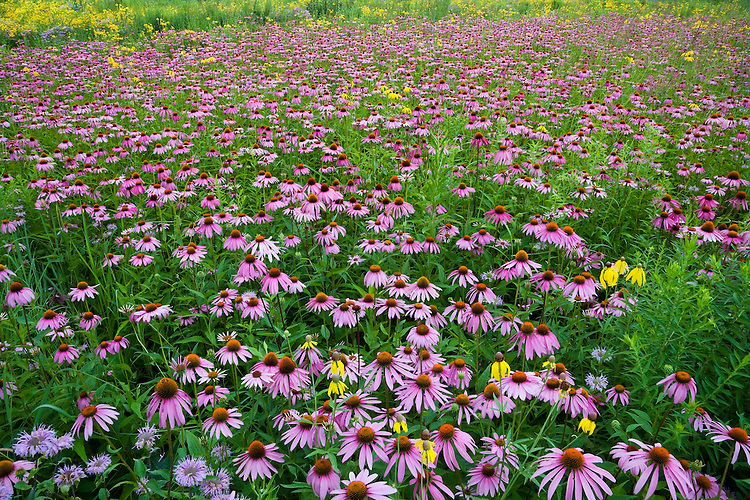 Field of Pale Prairie Coneflower (Echinacea pallida) on the restored prairie at Ball Horticultural; West Chicago, IL