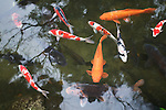 The fascination for Japanese koi breeding became popular in the nineteenth century and now the brightly colored fish are denizens of water gardens the world over. They are traditional symbols of good luck.