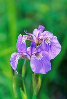 Wild Iris, Fairbanks, Alaska