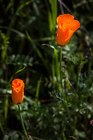 Two bright orange blossoms of California poppies bask in the sunshine along a path at Lake Chabot Regional Park.