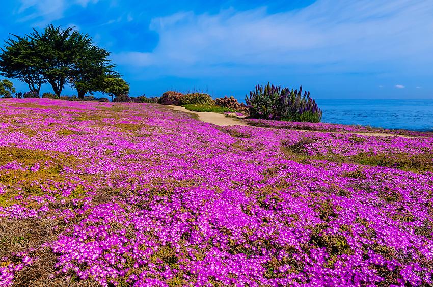 Carpet of mesembryanthemum flowers along the monterey bay coastal carpet of mesembryanthemum flowers along the monterey bay coastal trail in pacific grove monterey mightylinksfo