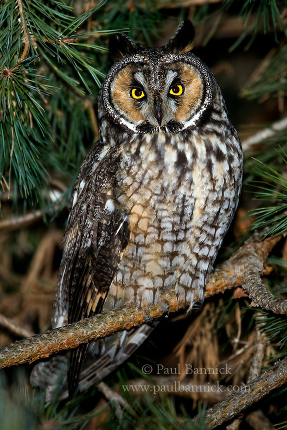 A Long-eared Owl, Asio otus, prepares to leave his Ponderosa Pine roost for his evening hunt in Yakima County, Washington.