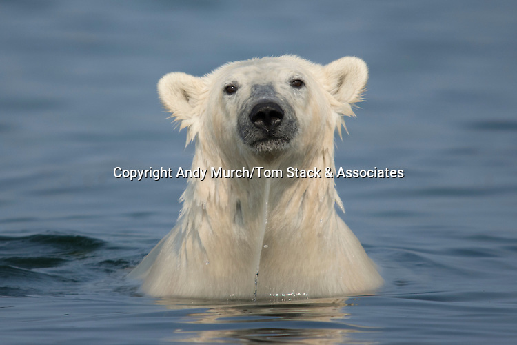Polar bear, Ursus maritimus, trying to stay cool in the summer sun near Churchill, Hudson Bay, Manitoba, Canada, Canadian Arctic