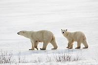 01874-13715 Polar Bears (Ursus maritimus) female with 1 cub. Churchill Wildlife Management Area, Churchill, MB Canada