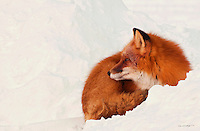 A red fox stays vigilant of its surroundings while relaxing on a snow bank on Alaska's north slope.