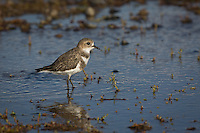 Double-banded Plover at Lago Argentino, El Calafate