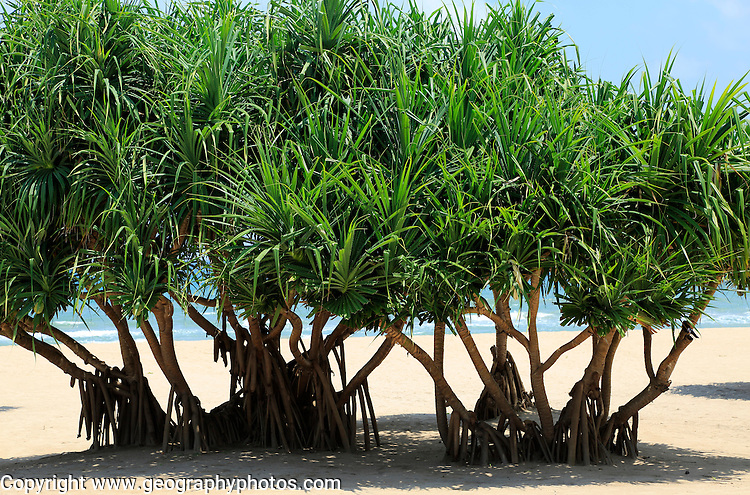Pandanus palm trees growing on sandy beach, Nilavelli, Trincomalee, Sri Lanka, Asia