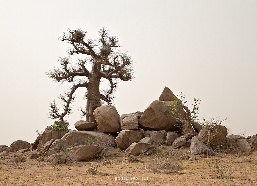 Baobab tree near Katsina in dry season.