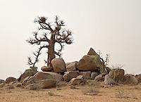 Baobab tree near Katsina in dry season.