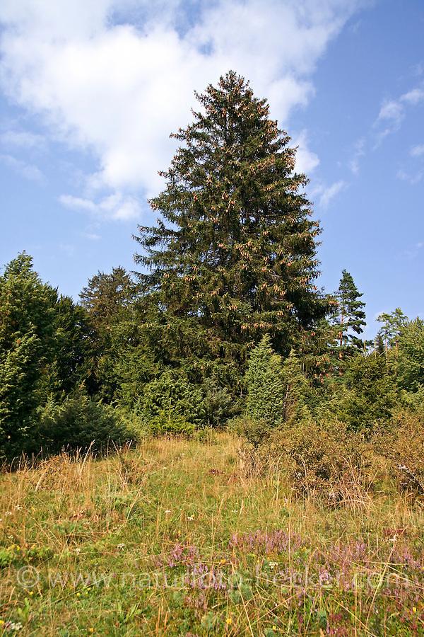 Fichte, Gewöhnliche Fichte, Rot-Fichte, Rotfichte, Picea abies, Common Spruce, Norway spruce, L'Épicéa, Épicéa commun