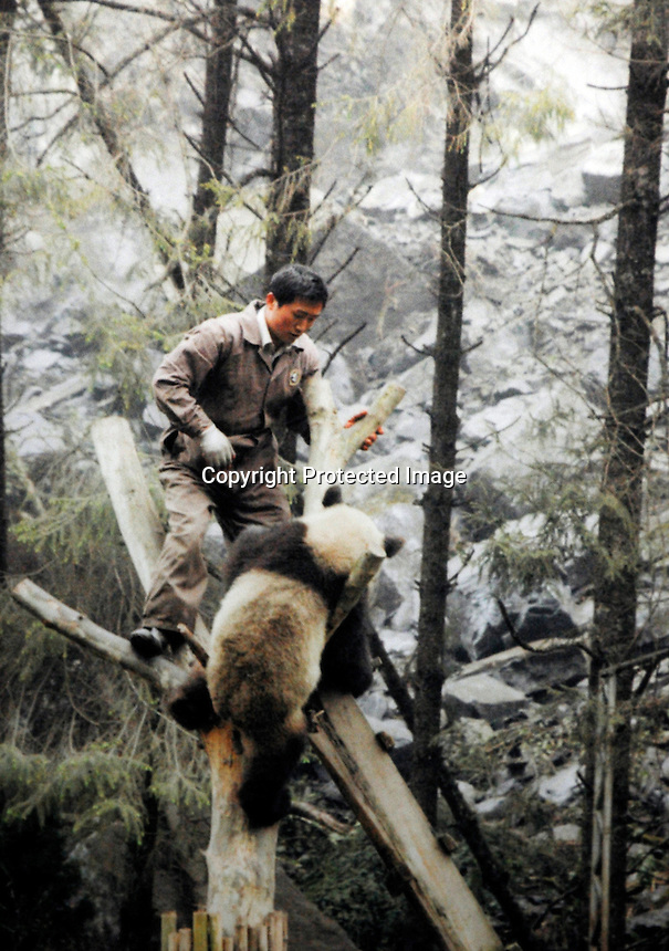 File photo shows Cui Cui being rescued from the  Wolong panda reserve after the he devastating May 12th earthquake.  Eight tramatised one and two year-old  pandas were brought from Wolong to Beijing for recuperation and have been placed in aan Olympic Panda exhibition.<br /> <br />Photo by Richard Jones / sinopix