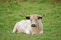 White Park cow, Llandeilo, Carmarthenshire, Wales....Copyright..John Eveson, Dinkling Green Farm, Whitewell, Clitheroe, Lancashire. BB7 3BN.01995 61280. 07973 482705.j.r.eveson@btinternet.com.www.johneveson.com