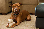 Red dog with white toy on beige carpet