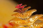 Christmas Tree Worm filter feeding at night (Spirobranchus giganteus), Yap, Micronesia.