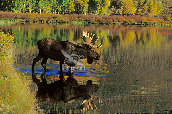 MM208  Bull Moose entering pond. Fall.  Western U.S.