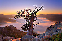 A photo of a weathered tree above a sea of clouds at sunrise on Donner Summit, CA