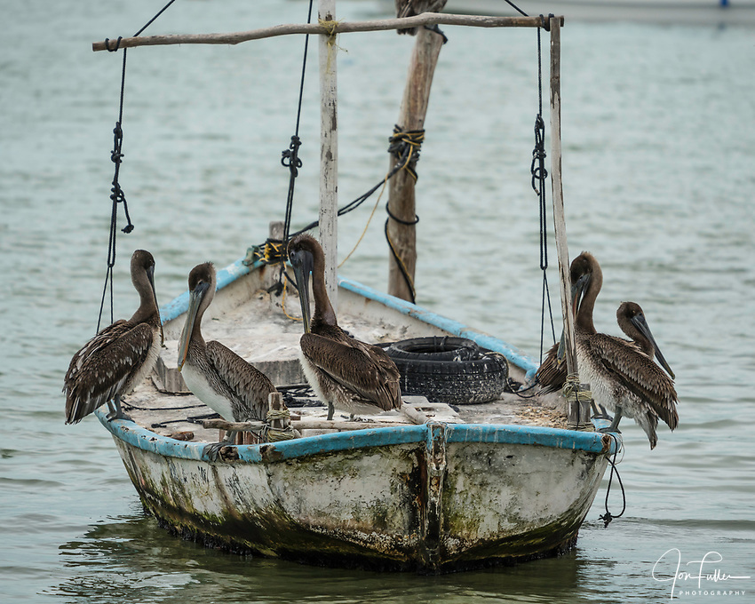 A scoop or a squadron of immature Brown Pelican, Pelecanus occidentalis, perched on a samll boat in the Ria Lagartos Biosphere Reserve, a UNESCO World Biosphere Reserve in Yucatan, Mexico.