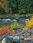 Wenatchee National Forest, WA<br /> Willows in fall color with cedar / fir forest along the swift waters of Icicle Creek