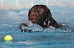 Lady swims in the second annual Pooch Plunge at the Carson City Aquatic Center in Carson City, Nev., on Saturday, Sept. 18, 2010..Photo by Cathleen Allison