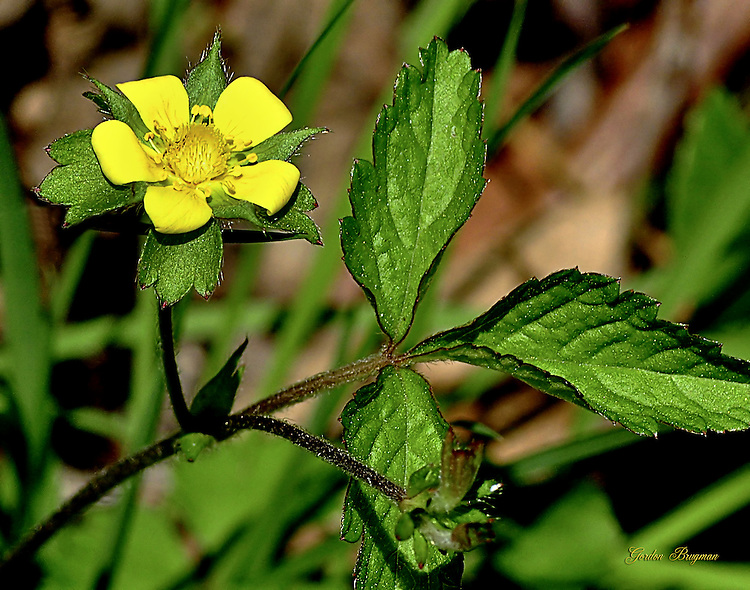 Dwarf Cinquefoil wildflower, Elkmont area of Great Smoky Mountains National Park.