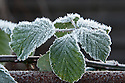 Autumn hoar frost on blackberries, October.