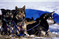 Leo, Asics & Brave-J.Royers Dogs Resting at Grayling