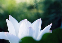 Beautiful white lotus flower in full bloom