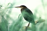 Green heron, Butorides virescens, standing on branch in wetland morning mist