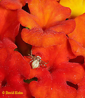 0918-06mm Young Crab spider - Genus: Thomisidae - © David Kuhn/Dwight Kuhn Photography