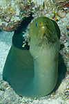 Grand Bahama Island, The Bahamas; a large Green Morey Eel (Gymnothorax funebris) with most of it's body exposed and outside a crevice in the coral reef