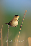 Marsh Wren (Cistothorus palustris) male singing while it clings between two cattail stems, New York, USA<br /> Slide # B134-104