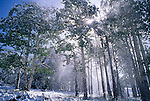 Sunlight shines through falling snow caused by wind  among an aspen forest (Populus tremuloides), Rocky Mtn Nat'l Park, CO