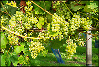 BNPS.co.uk (01202 558833)<br /> Pic: PhilYeomans/BNPS<br /> <br /> White 'Bacchus' grapes.<br /> <br /> Lovely bubbly - 'Perfect' summer for Briish wine.<br /> <br /> Britain's vintners are preparing themselves for a record harvest this year after the hot dry summer has led to huge crop of flavoursome grapes.<br /> <br /> Rebecca Hansford, who runs the Furleigh Estate vineyard with her husband Ian Edwards, said they average about 50,000 bottles of wine a year but this year they are expecting to make more than 100,000.<br /> <br /> And it's not just quantity, the high temperatures have also led to a better quality fruit which should produce a better tasting wine.