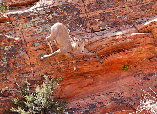 A Desert Bighorn Sheep leaps to the slickrock ground at Zion National Park, Utah.