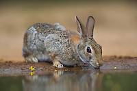 673280054 a wild desert cottontail rabbit sylvilagus audubonii drinks at a waterhole on santa clara ranch in starr county rio grande valley texas united states