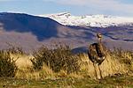 Lesser Rhea (Rhea pennata) sub-adult, Torres del Paine National Park, Patagonia, Chile