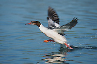 Common Merganser (Mergus merganser), male taking off, Argau, Switzerland