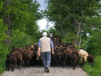 ITA, Italien, Marken, bei Camerino: Schaefer treibt Schafherde auf Landstrasse | ITA, Italy, Marche, near Camerino, shepherd with sheep on country road