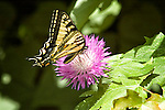 Tiger swallowtail butterfly, papilio glaucus canadensis